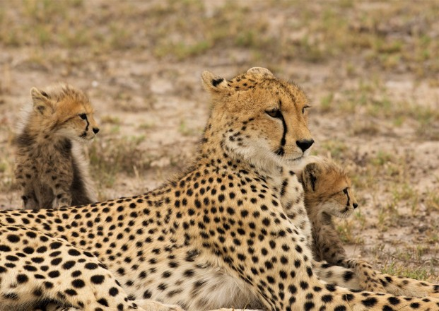 cheetah mom and cubs edited